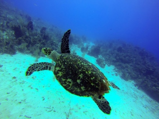 Hawksbill Turtle at South Water Caye Marine Reserve