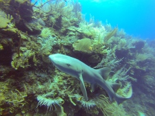Friendly Nurse Shark on the Barrier Reef